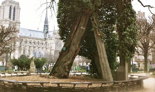 L'albero più vecchio di Parigi