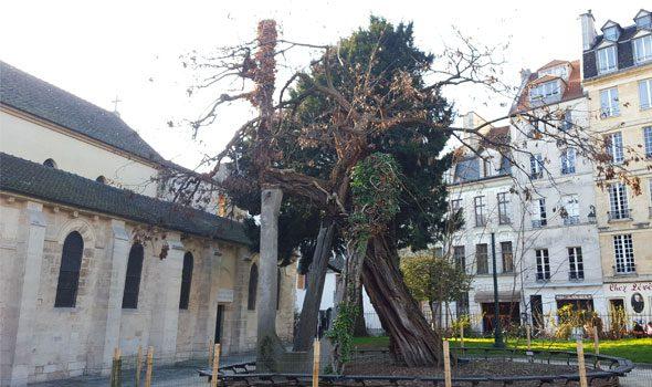 L'albero più vecchio di Parigi, sopravvissuto a 4 secoli di battaglie e rivoluzioni