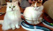 Le Café des chats, il primo bar dei gatti di Parigi